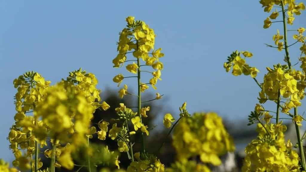 mosterd plant teelt Horeca Webzine