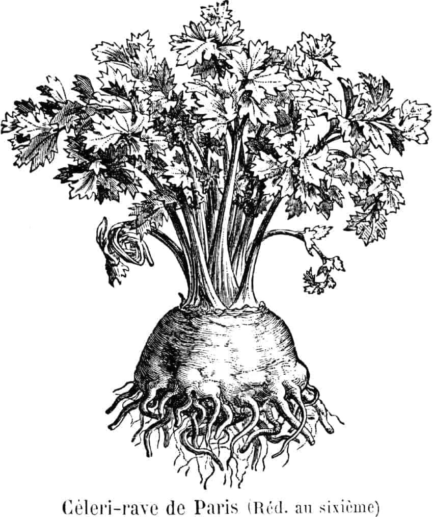 Knolselderij-Paris-afb-Vilmorin-knolselder groente