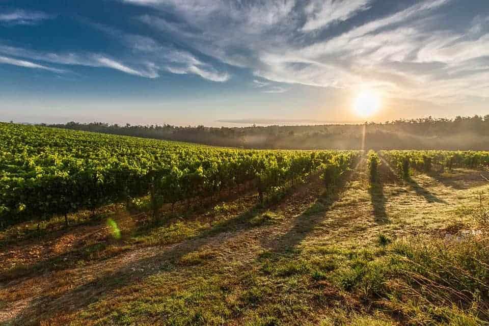 château_puech_haut-wijngaard